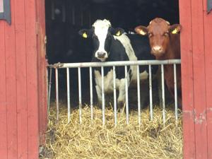 Vilna är svensk Holstein och Majros är av SRB-ras.